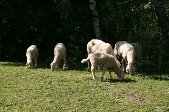 Schafe2011-05-29_1