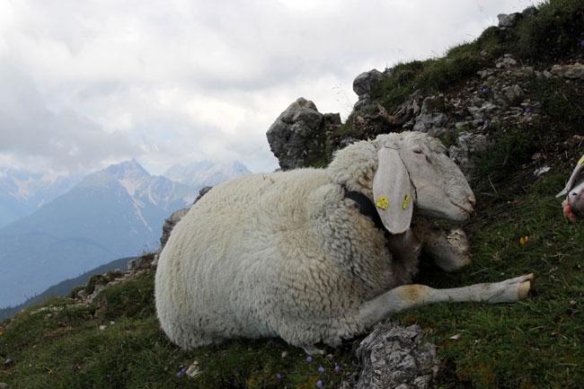 Schafe-Wank-Blitzschlag2016-08-07_04