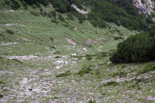 Schafe-Wank-Blitzschlag2016-08-07_09